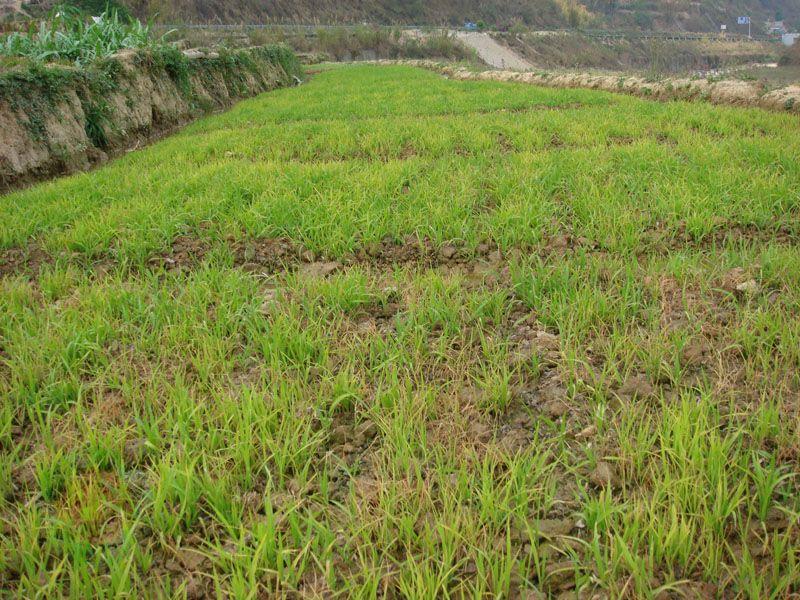 水稻立枯病芽腐的为害症状?
