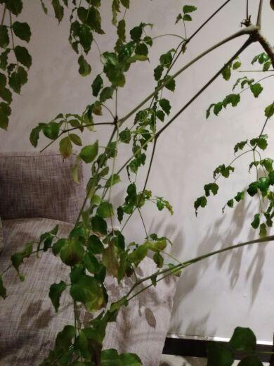 家里的幸福树突然间叶子变黄,落叶,连枝条都落下