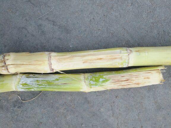 请问甘蔗表皮有凹点,下面肉组织变褐坏死。但中心部正常,生长正常。严重时坏死组织越