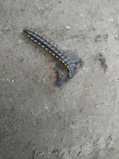 这是什么虫多的要命,对黄瓜根部有没有害,,                高人