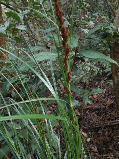 您好,这个是不是兰花?这个是原始森林里发现的一株草,但是有点像麦子!