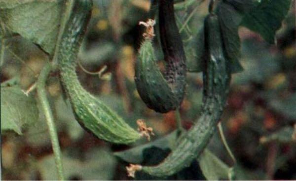 黄瓜冬季有一些畸形瓜要如何处理?