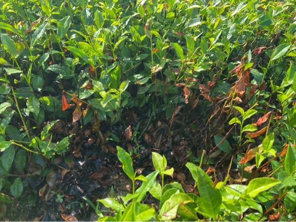 茶叶部分变黄,连续降雨后发生叶子干枯,根部干枯,有向大片传染迹象,使用复方枯草芽
